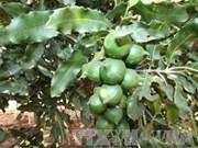 Quang Tri busca desarrollar el cultivo de macadamia