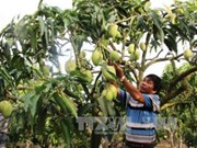 Vietnam exportará mango a Australia
