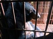 Vietnam traza planes para poner coto a extracción de bilis de oso