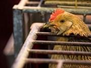 Filipinas reporta primer brote de gripe aviar