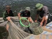 Phu Yen aplica alta tecnología en cría de camarones