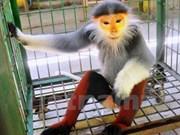 Entregan primate en peligro de extinción al Parque Nacional de Cuc Phuong