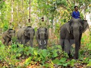 Establecen reserva de elefantes en provincia vietnamita