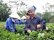 Vietnam aumenta exportaciones de té