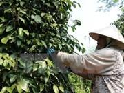 Exportaciones de pimienta de Indonesia crecen más de 16 por ciento