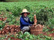 Tailandia despliega medidas de apoyo a cultivadores de mandioca