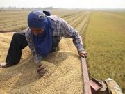 Agricultores tailandeses reducirán áreas de cultivo de arroz