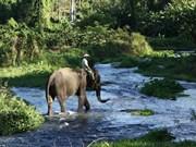 Dak Lak refuerza preservación de elefantes