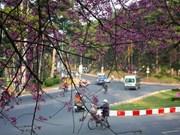 Festival de flor de cerezo embellecerá ciudad altiplánica vietnamita