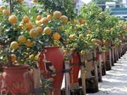 Exhibición de bonsái de kumquat: muestra del deseo de prosperidad en el Tet