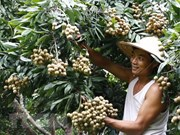 Vietnam podría exportar longans a Australia en 2019
