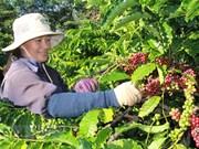 Vietnam e Indonesia fomentan cooperación en sector de café