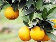 Naranja Vinh, especialidad de la provincia vietnamita de Nghe An