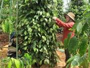 Exportaciones de pimienta vietnamita generan más de 138 millones de dólares