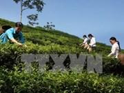Inaugurada en Vietnam fábrica de té orgánico con tecnologías avanzadas de Japón