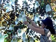 Caimito vietnamita mejora perspectiva de exportación