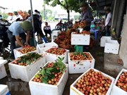 Celebrarán primer festival de lichi en provincia norvietnamita