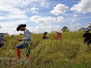 Gobierno de Tailandia aprueba crédito para estabilizar los precios de arroz