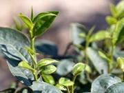 Exportaciones de té vietnamita se reducen en primeros cuatro meses