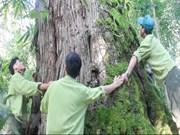 Descubren en Vietnam árbol Fokienia hodginsii de mil años
