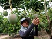 Exportan primer lote de mangos tricolores vietnamitas a Australia