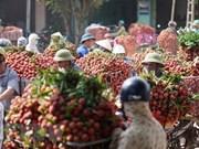 Provincia vietnamita exporta miles de toneladas de lichi en inicios de cosecha