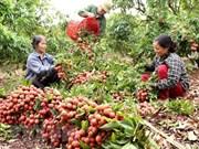 Provincia vietnamita de Bac Giang exporta la mitad de su producción de lichi