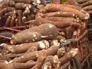 Tailandia exportará 1,5 millones de toneladas de yuca