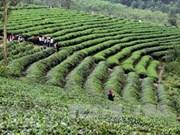 Vietnam, quinto exportador de té en el mundo