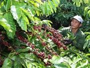 Café de Vietnam busca itinerario para la promoción de marca nacional