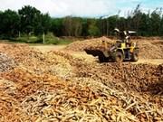 Exportación vietnamita de mandioca mantiene tendencia alcista
