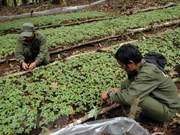 Ampliarán en Vietnam plantación del ginseng Ngoc Linh