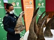 Confiscan en Malasia mayor cantidad de cuernos de rinoceronte