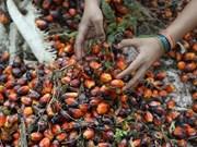 Indonesia replantará bosque de palma para elevar rendimiento