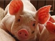 Vietnam está libre de peste porcina africana, confirma su Ministerio de Agricultura y Desarrollo Rural