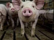 Vietnam refuerza medidas preventivas por peste porcina africana