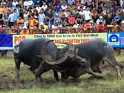 Celebran Festival de lucha de búfalos Do Son en ciudad vietnamita