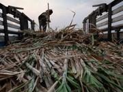 Pronostican disminución de producción de azúcar y caña en Tailandia durante cosecha 2018-2019