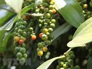 Pimienta de provincia vietnamita gana certificación de productos orgánicos