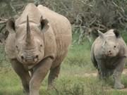 Aduana vietnamita incauta cuernos de rinoceronte procedentes de Sudáfrica