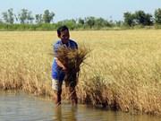 Aumento del nivel del mar amenaza a provincia Kien Giang,  principal productora de arroz de Vietnam