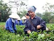 Provincia vietnamita de Phu Tho busca divulgar su marca comercial de té