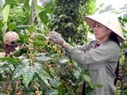 Australia respalda a provincia altiplana vietnamita en cultivo de pimienta y café