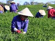 Exportación de té de Vietnam alcanzaría 145 mil toneladas en 2018