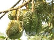 Malasia promueve cultivo de durián para responder a alta demanda de China