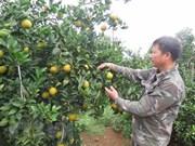 Naranjas de Cao Phong serán servidas en vuelos de Vietnam Airlines
