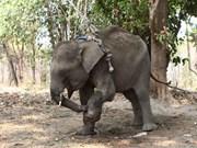 Vietnam urge conservación de elefantes en parque nacional Vu Quang