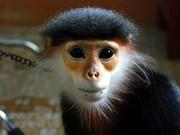 Celebran Foro sobre la conservación de primates en provincia vietnamita de Quang Nam
