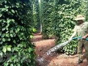 Exportación de pimienta de Vietnam alcanzará unos 800 millones de dólares
