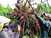 Exportación de café vietnamita a Argelia aumenta 56 por ciento
